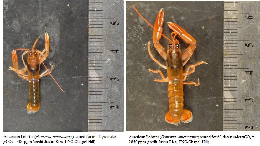 Impacts of ocean acidification on lobster