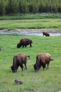 Bison herd grazing in Yellowstone National Park
