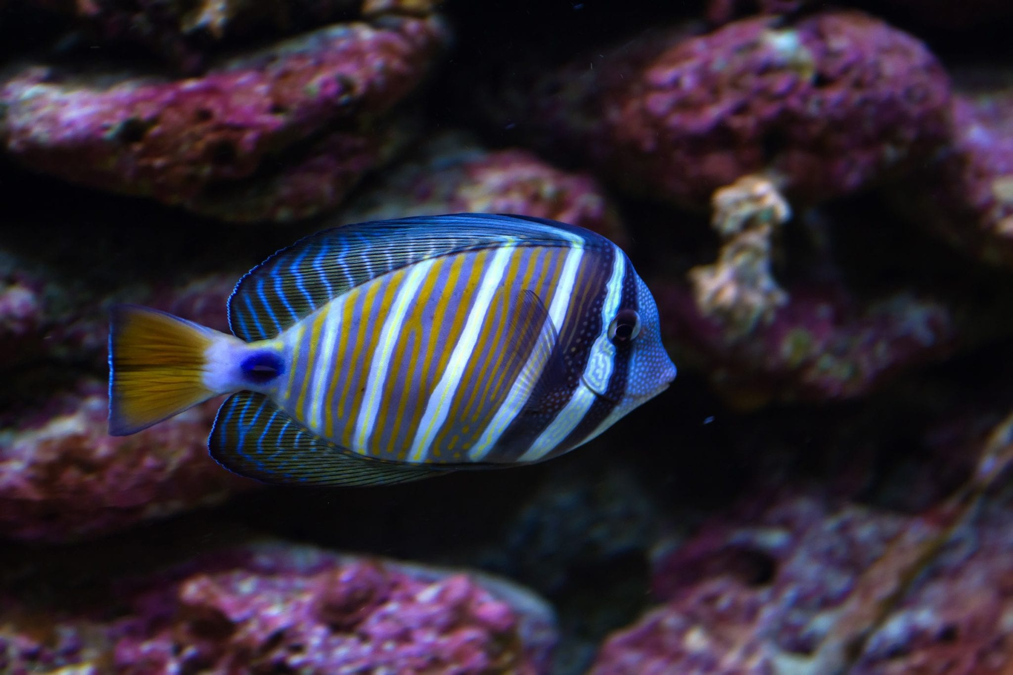 Tropical fish swimming through coral reef
