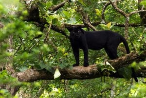 A melanistic Indian leopard in Nagarhole National Park