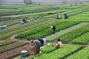People cultivating crops