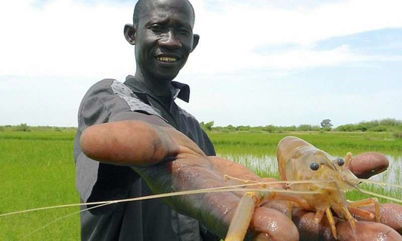 Researcher holds a freshwater river prawn in Senegal