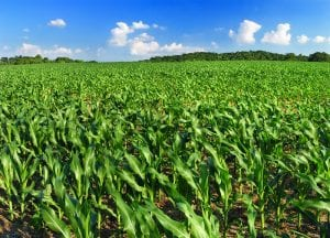 Corn field monoculture