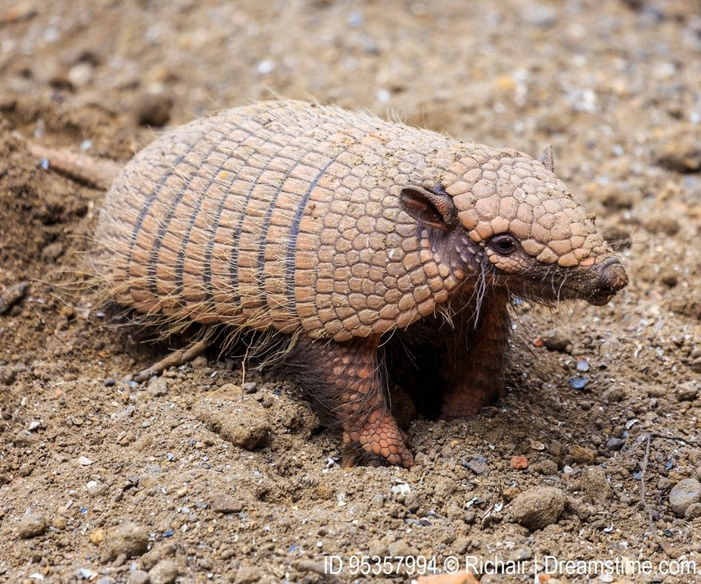 Armadillo in the wild