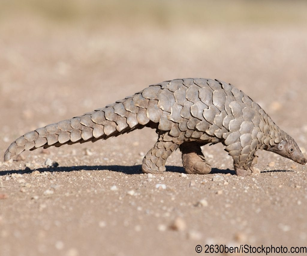 A pangolin hunting for ants in the dirt.