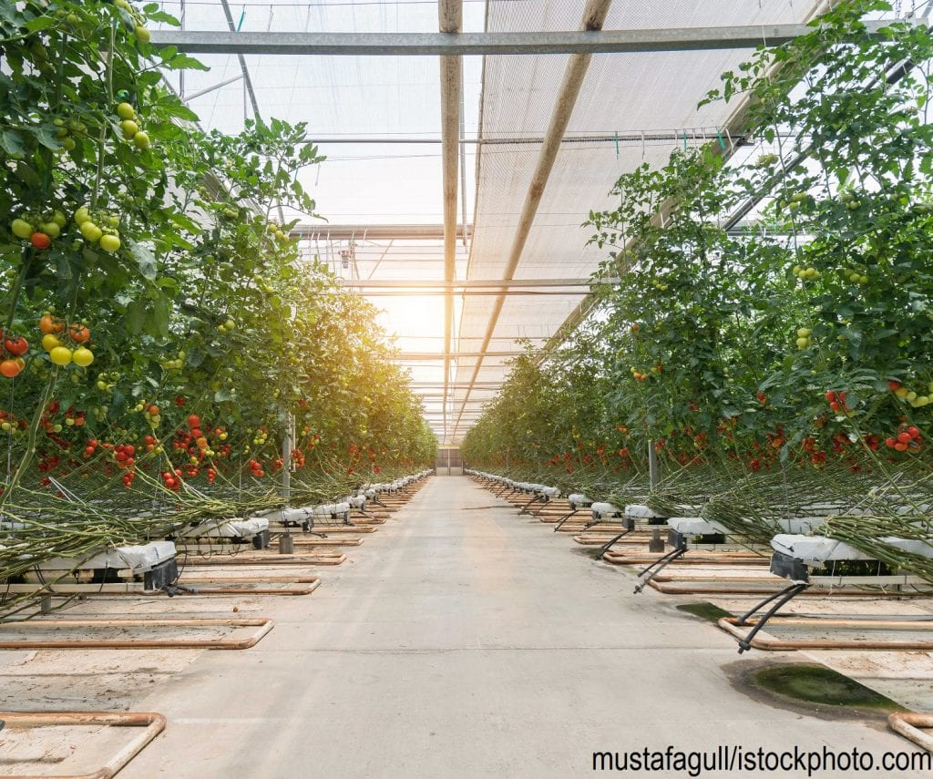 Tomatoes growing in a Dutch greenhouse.