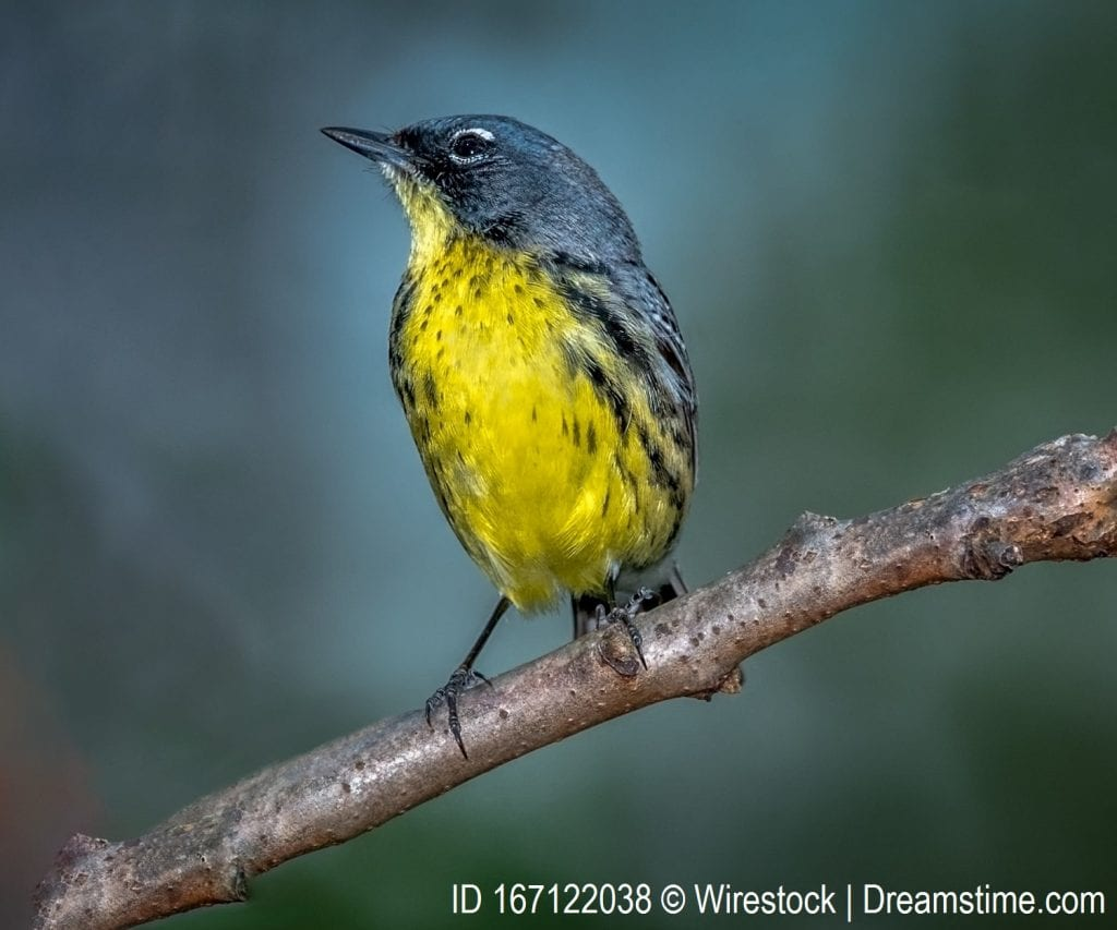 Kirtland's Warbler, one of the possible endangered species for students to examine.