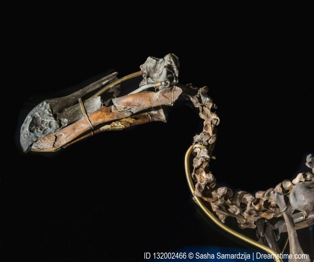 Skeleton of a dodo, the bird is one of the most well-known examples of human-induced extinction