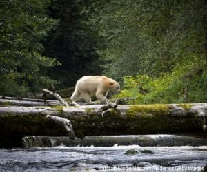 The Kermode, or spirit, bear in British Columbia