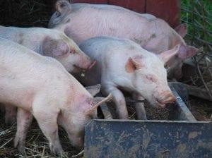 Pigs feeding at Homestead Farm, Poolesville, Maryland