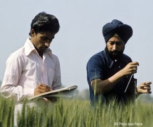 Two mean conduct experiments in a cultivated wheat field in India