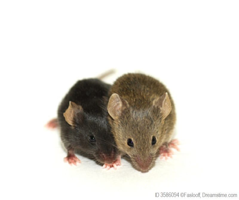 Populations of mice grow quickly and provide an example to elementary students of a high population growth rate