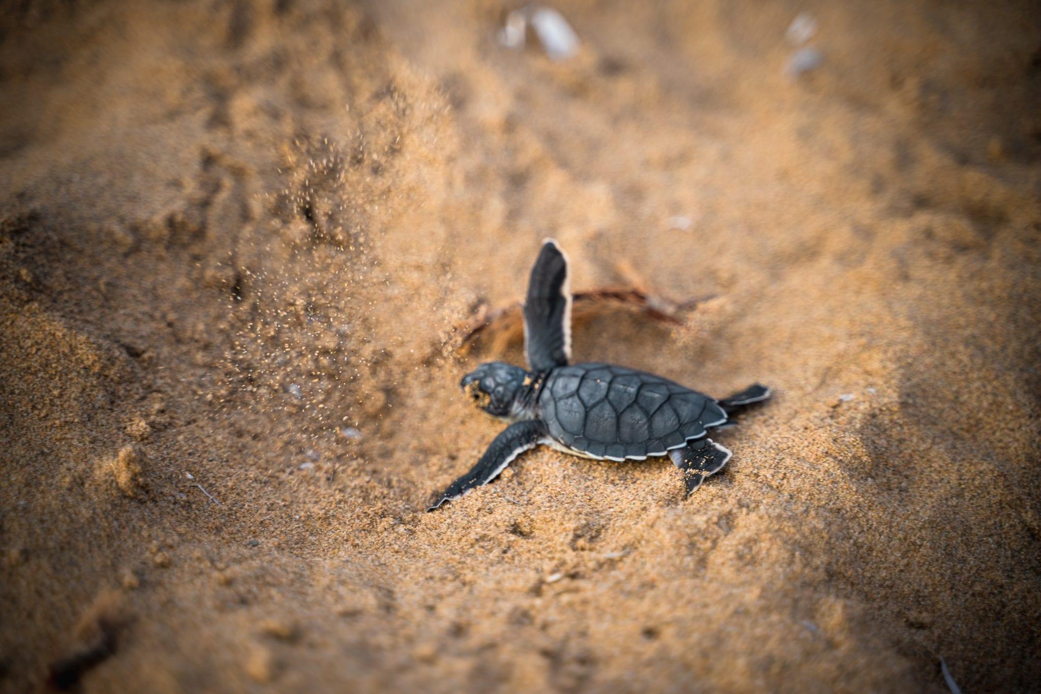 Black new born sea turtle on brown sand