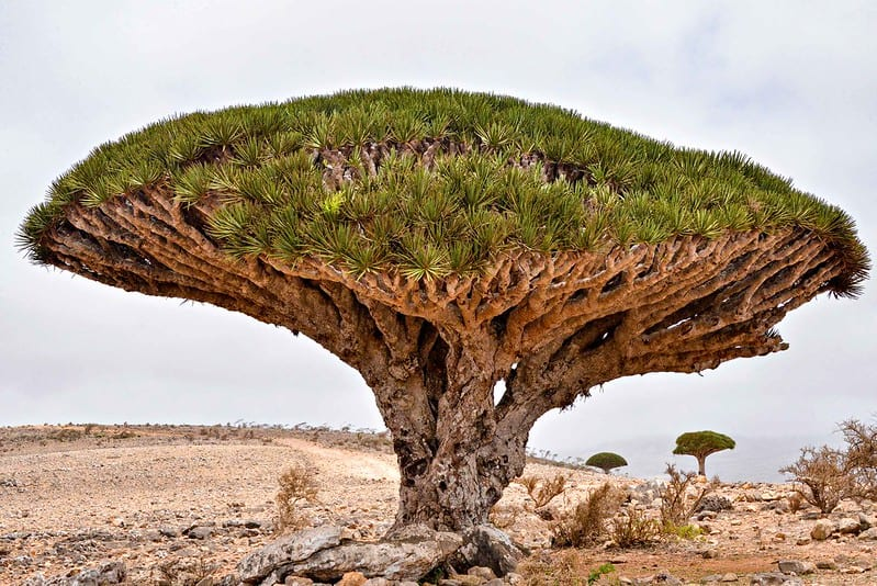 Dragons Blood Tree: Indicator Species
