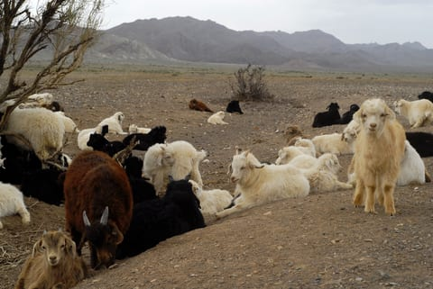 Goats lying on barren grassland in central Mongolia
