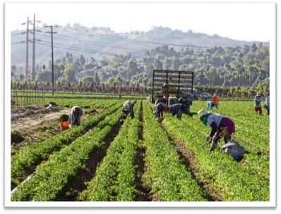 Day laborers working in California fields
