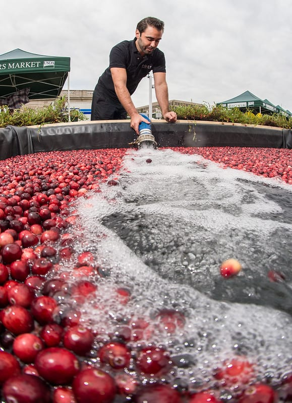 Man fills up a tub of cranberries with water to prepare them for harvest