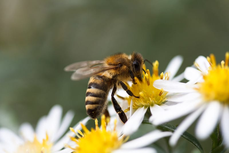 Close up of bee on white and yellow flowers