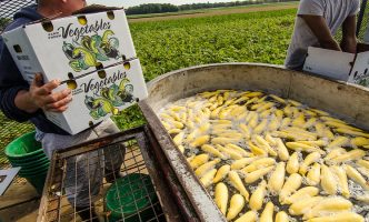 Migrant workers rinse just-picked yellow squash on a processing trailer