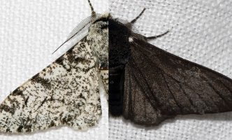 Side by side view of the original peppered moth and the darker colored peppered moth