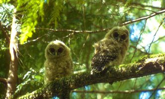 Two northern spotted owls perched on a tree stare into the camera